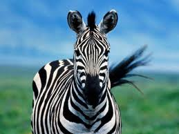 The Zebra from the Ham Radio